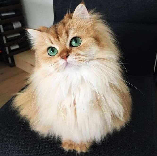 Gato mais bonito do mundo impressiona internautas