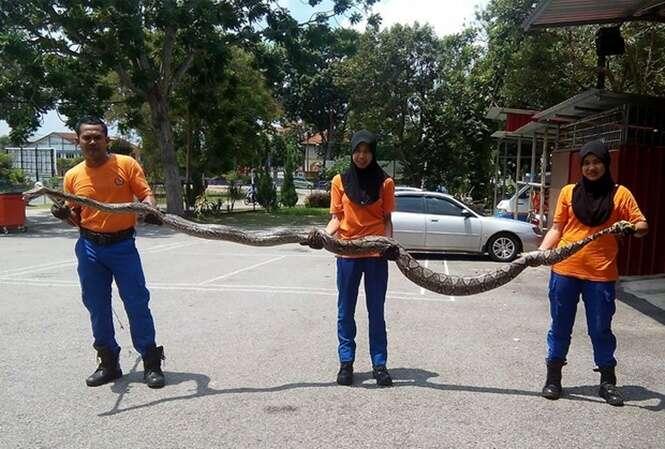 Enorme cobra píton de quase 4 metros de comprimento é encontrada na Malásia