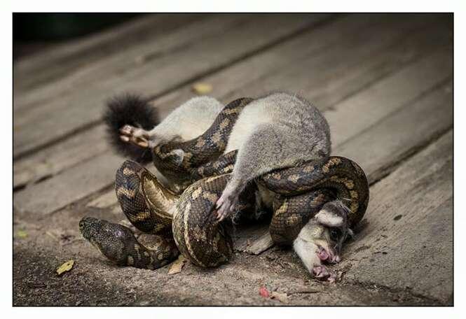 Enorme cobra píton devorava marsupial na Austrália