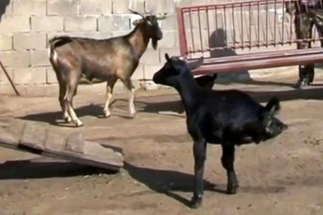 Cabra nasce sem as patas traseiras e aprende a conviver com adversidade