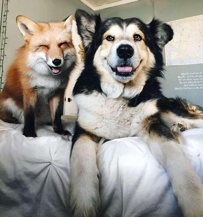 Raposa de estimação se torna melhor amiga de cãozinho