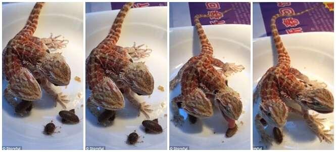 Lagarto siamês mostra sincronia com as cabeças ao comer jantar