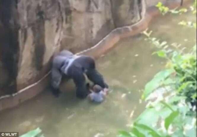 Gorila é morto após menino de 4 anos invadir sua jaula em zoológico