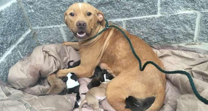 Pit bull abandonada dá à luz 10 filhotes e fica à espera de ajuda