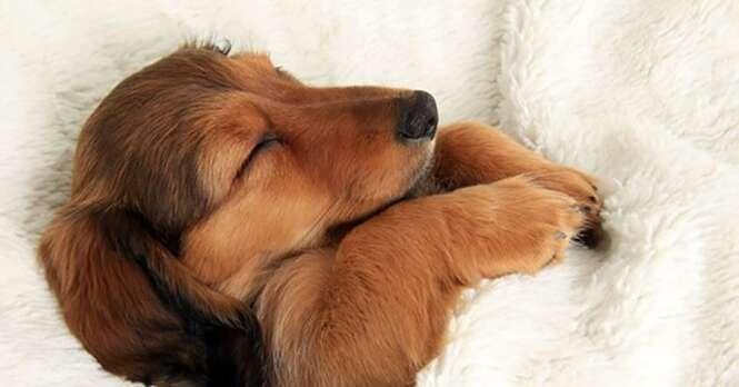 Cães absurdamente fofos que se apoderaram da cama de seus donos