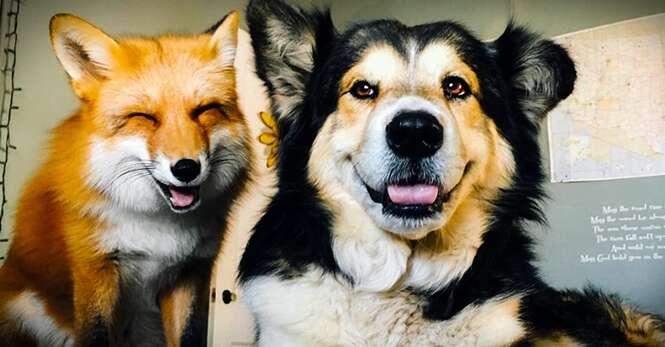 Raposa criada como animal doméstico se torna melhor amiga de cão de família