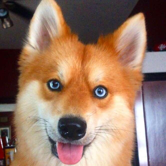 Conheça o cão-raposa, mistura de Spitz alemão com Husky Siberiano