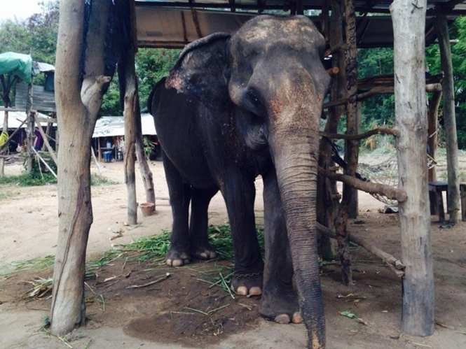 Elefante forçado a carregar turistas em passeio na Tailândia fica severamente magro