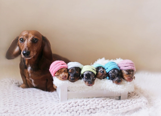 Família de cães salsichas promete te encantar