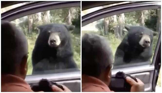 Urso gigante abre porta de carro de visitantes em safari