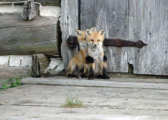 Fotos de filhotes de raposas que vão fazer você se apaixonar