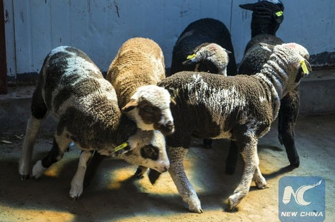 """Primeira ovelha """"cão"""" no mundo é criada em laboratório"""