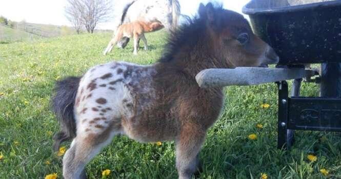 Mini cavalos de verdade que vão derreter seu coração