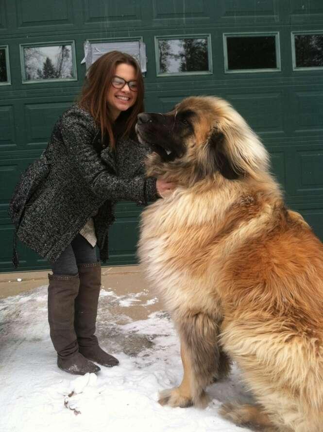 Cães incríveis que não têm ideia do quanto são enormes