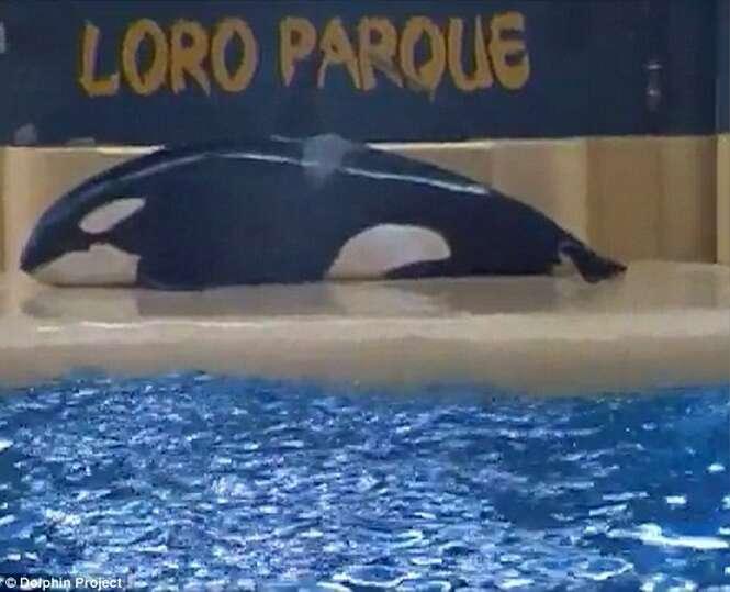 Vídeo flagra momento em que baleia assassina que vivia em cativeiro tentava se matar