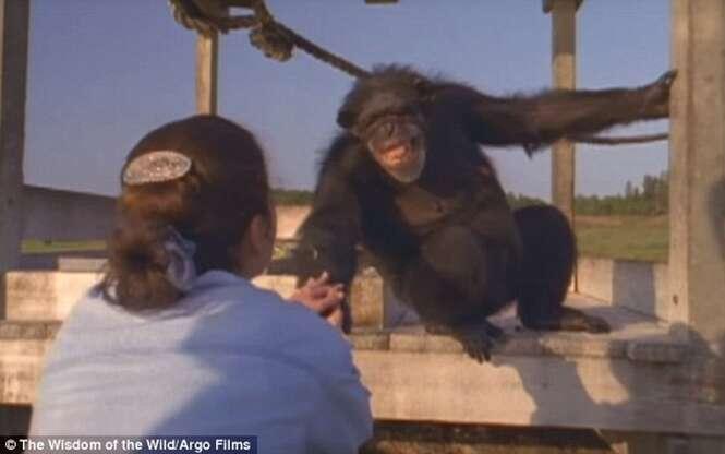 Chimpanzé sorri e abraça mulher que o salvou