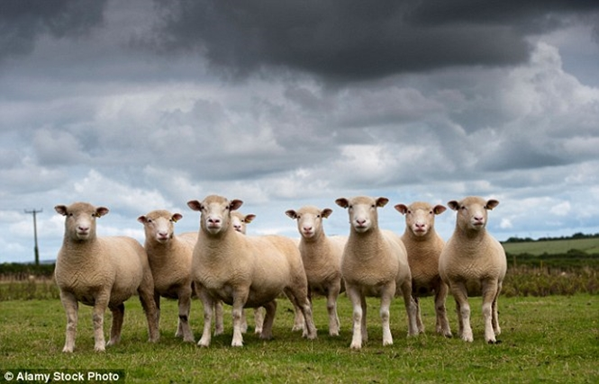 """Ovelhas ficam """"possuídas"""" e causam enormes estragos após consumirem maconha"""