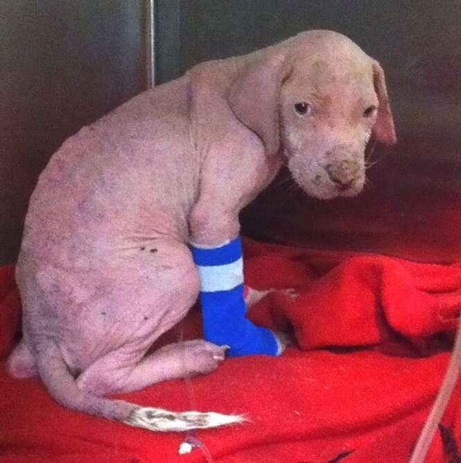 Filhote de pitbull tem reação comovente ao ver que homem que o salvou voltou para adotá-lo