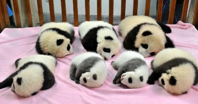 Creche de pandas realmente existe e é incrivelmente fofa