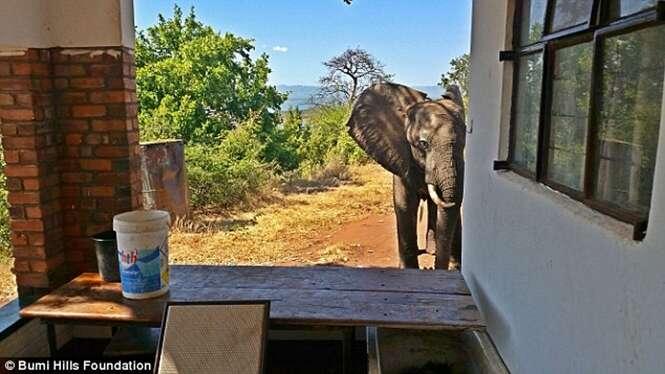 Elefante ferido vai a alojamento pedir ajuda aos hóspedes após ser baleado