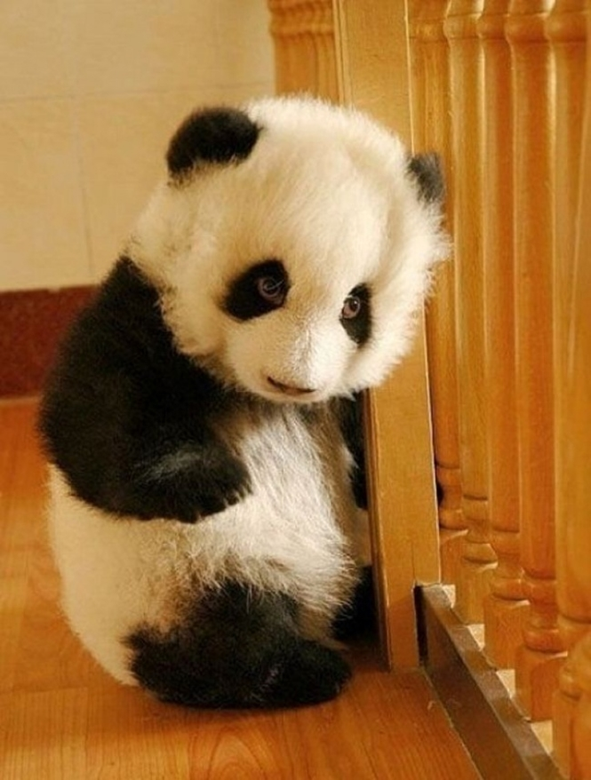 Foto: panda