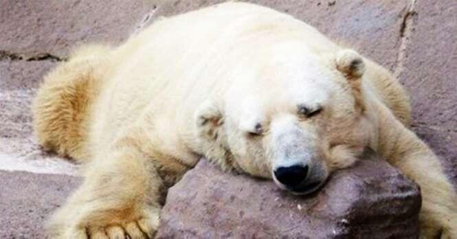 Como foi a vida do último urso polar que vivia em cativeiro na Argentina