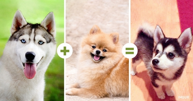 O que acontece forem cruzadas diferentes raças de cachorros