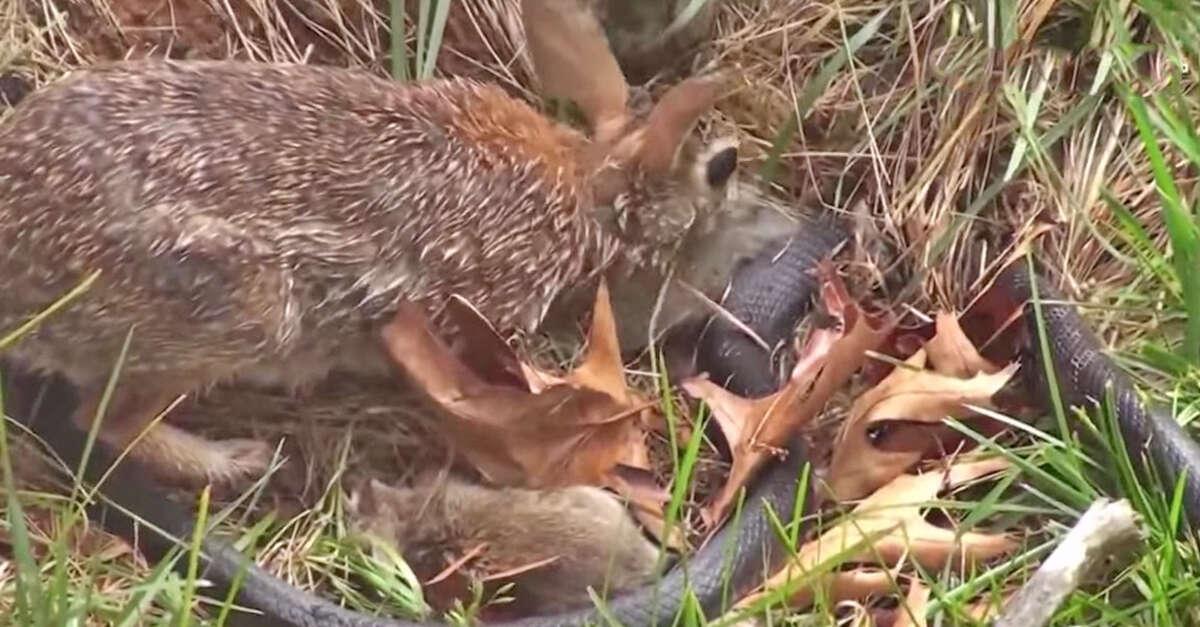 Mamãe coelho supera fragilidade e ataca cobra para defender seus filhotes