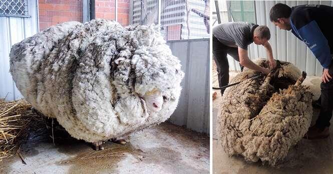 Esta ovelha perdida há 5 anos teve uma quantidade inacreditável de lã retirada de seu corpo