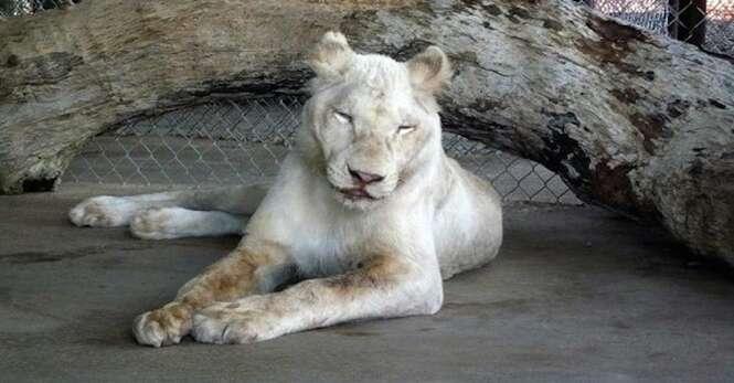 Leão negligenciado encontra o amor após ser resgatado