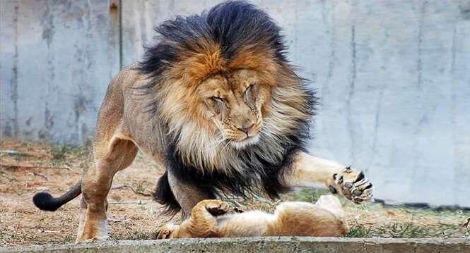 Leão resolve castigar filhote bagunceiro... aí aparece a mãe e...