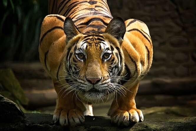 Os tigres em 20 imagens absurdamente fantásticas