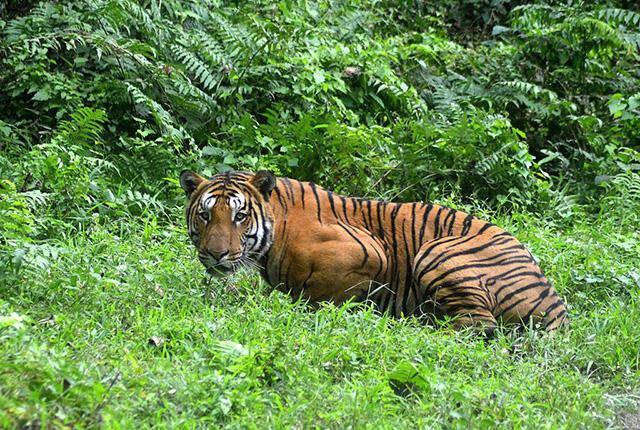 População de tigres está subindo pela primeira vez em 100 anos