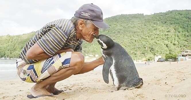 Este pinguim nada 8 mil quilômetros anualmente para visitar homem que o salvou