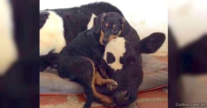 Bezerro e filhote de cachorro abandonado criam enorme vínculo