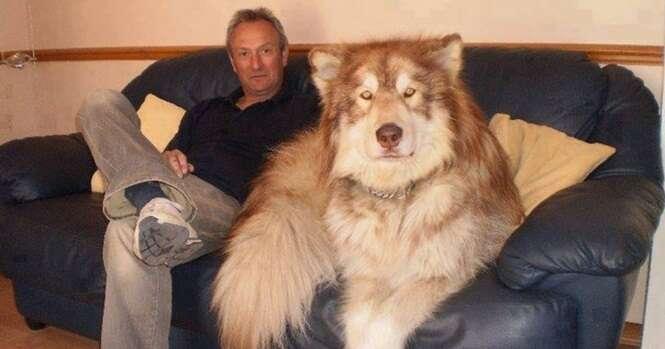Cães belíssimos que não têm ideia de como são gigantes