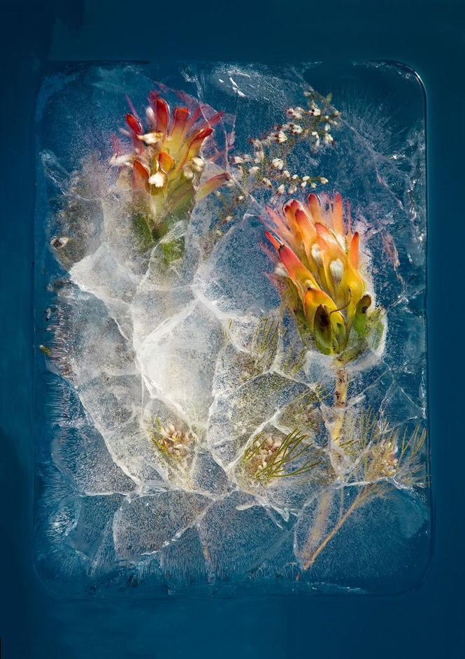 Fotógrafo se especializa em registrar imagens de flores congeladas