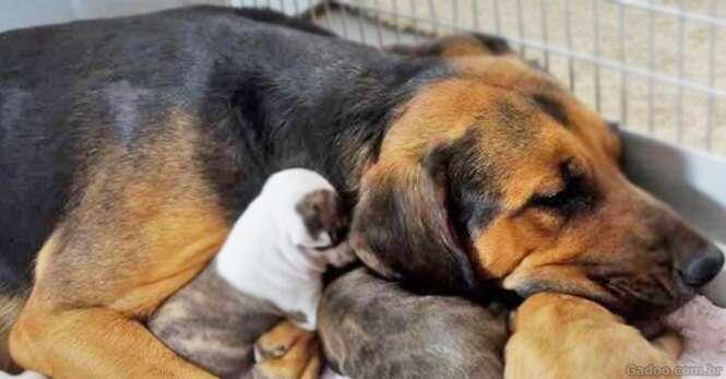 Cadela que quase sofreu eutanásia adota 5 filhotes de pit bull