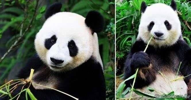 Os pandas não estão mais em perigo de extinção