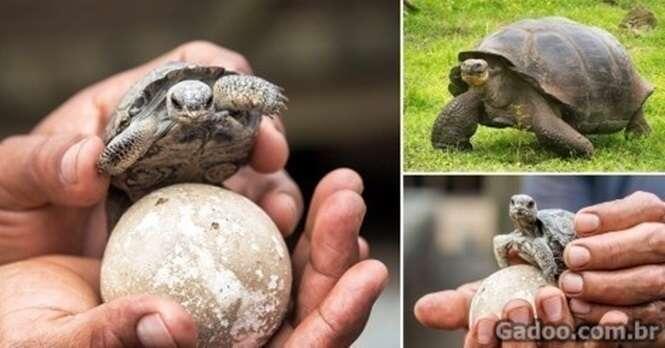 Após 100 anos de espera nascem as primeiras tartaruga-das-galápagos