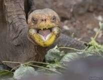 Tartaruga salva sua espécie da extinção ao ter 800 filhotes