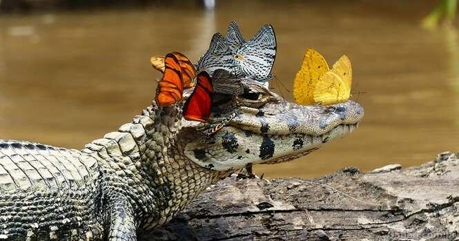 Jacaré revela seu lado mais doce com uma coroa de borboletas na cabeça