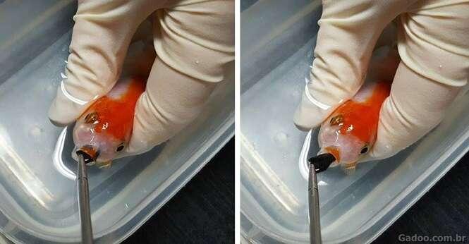 Jovem gasta mais de R$ 1.500 em cirurgia com seu peixinho dourado