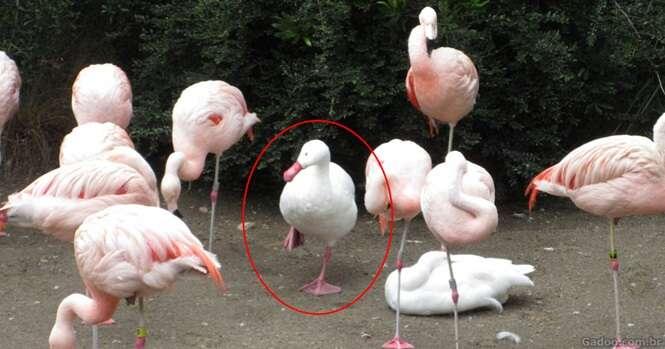 Patos que têm certeza que são flamingos