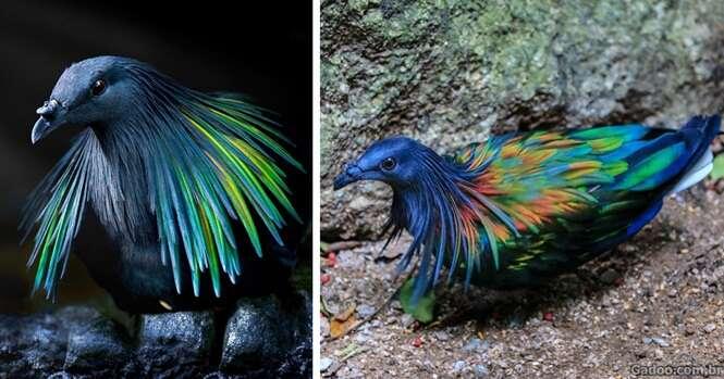 Conheça o mais próximo parente vivo do extinto pássaro dodo