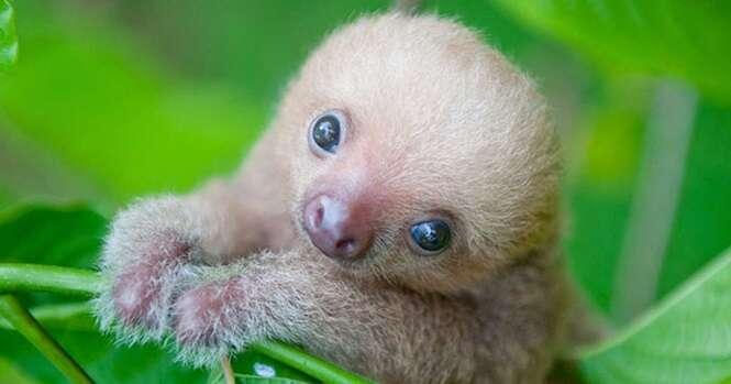 Imagens absurdamente fofas de preguiças que vão derreter o seu coração