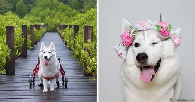 Husky semiparalisado é adotado e se torna cachorro mais feliz em uma cadeira de rodas
