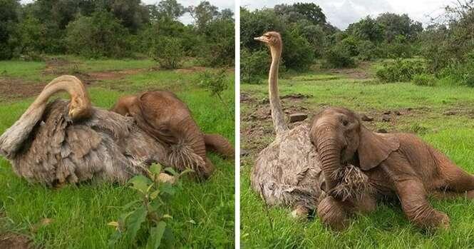 Elefante órfão é consolado por avestruz