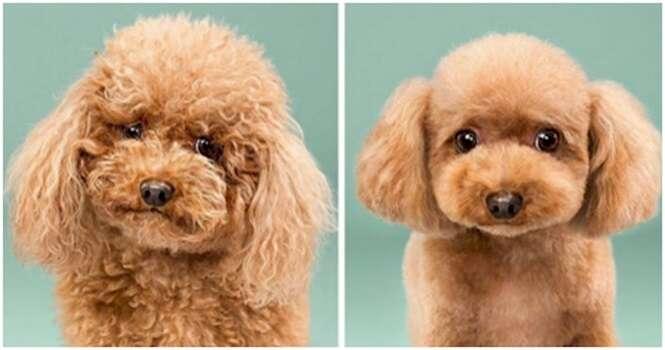Esses cães ficaram muito fofos depois de passarem por uma tosa