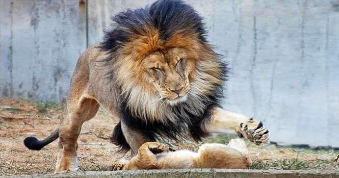 Este leão decidiu dar uma lição em seu filho levado, mas aí a mamãe chegou e...